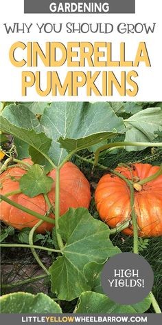 All about Cinderella pumpkins and why they are best pumpkins for the garden and the kitchen. Lots of tips for growing, storing, and preserving your harvest. Pumpkin Garden, Autumn Garden, Spring Garden, Gardening For Beginners, Gardening Tips, Best Pumpkin, Pumpkin Pies, Planting Pumpkins, Grow Pumpkins