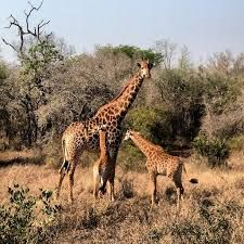 There are so many giraffe to see in Mbuluzi - walk in a 'journey' of them.