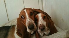 ♥ Zues and Hera Cute Basset Hounds Brother and Sister 28 June 2015 ♥