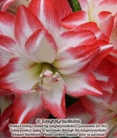 Amaryllis Blossom Peacock - 1 bulb - 26/28 cm by EasytoGrowBulbs. $11.95. Priced for a pkg. of 1 extra large bulb. Bloom Time: Flowers in 40-60 days indoors and mid spring outdoors.. Hippeastrum Blossom Peacock. Ships from Oct. 17 thru Jan. 22. Double white blooms washed with holiday red; fragrant. Fragrant flowering amaryllis are few and far between - Blossom Peacock is one of just a handful. And it produces full, double form flowers to boot! A blend of pure Christmas color...