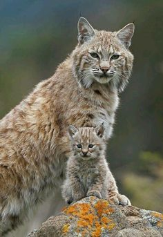 Canada lynx, parent and young