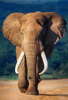 I want an ELEPHANT as a pet! Elephant Approaching - Addo National Park - by Johan Swanepoel Nature Animals, Animals And Pets, Baby Animals, Cute Animals, Wild Animals, Photo Elephant, Elephant Love, Bull Elephant, Elephant Poster