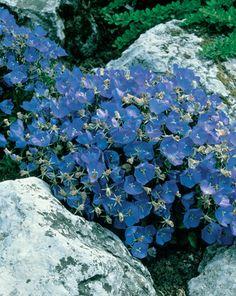Bell Flower Campanula carpatica 'Blue Clips' - MyGardenGates