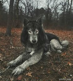 Wolf Dogs, Wolf Husky, Coyotes, Beautiful Dogs, Dog Art, Foxes, Awesome, Amazing, Westerns