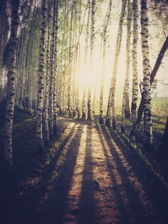sunrays through birches... how glorious