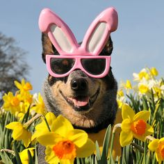 Easter bunny dog glasses