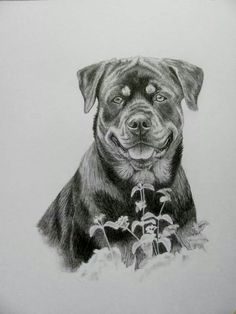 Dog Art, Horse Art & Other Pet Portraits Sketched By Hand in Graphite Pencil Done Working From Your Photos by Pet Artist Genevieve Schlueter. Animal Sketches, Animal Drawings, Pencil Drawings, Art Sketches, Tattoo Perro, Rottweiler Love, Charcoal Art, Art Prompts, Bulldog Mascot