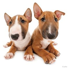 Artlist Collection THE DOG (Bull Terrier) — March 2014
