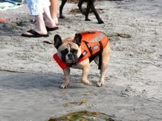 French bulldogs in little life jackets who absolutely hate the water. | 54 Reasons You Should Go To A Dog Surfing Competition Before You Die