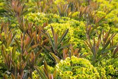 Ein gut winterharter Vertreter der buschförmig wachsenden Wolfsmilch-Arten. Tiefgrünes Laub, rötliche Stiele und frühe Blüte im April zeichnen sie aus. Wächst auch bei teilweiser Beschattung noch recht gut, ein paar Stunden Sonnenlicht pro Tag sind aber empfehlenswert. #pflanzkompass, #gartenpflanzen, #gartenpraxis Plants, Hardy Perennials, Water Plants, Fall Color Schemes, To Draw, Lawn And Garden, Sunlight, Plant, Planets