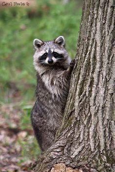 Raccoon, another of your frequent backyard visitors. Baby Animals, Cute Animals, Pet Raccoon, Wild Dogs, Forest Friends, Tier Fotos, Woodland Creatures, Beautiful Creatures, Animal Photography