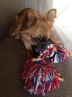 Chihuahua Harybo avec sa corde !