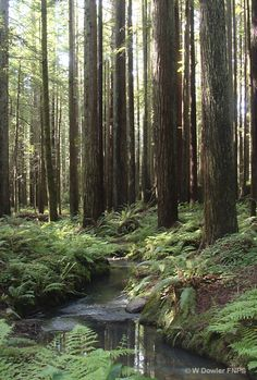 Redwoods of Oregon calling my name