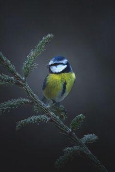Dainty little Blue Tit. Pretty Birds, Beautiful Birds, Blue Tit, Cold Feet, Bird Wallpaper, Funny Animal Memes, Colorful Birds, Nature Reserve, Bird Watching