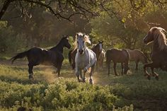 the wild horse sanctuary. shingletown, ca (wild horse viewing on Wednesdays and Saturdays, 10 am - 4 pm) http://www.wildhorsesanctuary.org