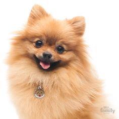 Pomeranian Dog 8 Budget Friendly Dog Breeds In India Dogspot In The Pet Shoppe Siliguri Home Facebook 10 Most In 2020 Pomeranian Dog Friendly Dog Breeds Dog Friends