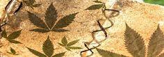Medyczna marihuana zalegalizowana w Polsce
