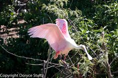 Roseate Spoonbill at rookery near Winnie, Texas - see Houston Audubon Society