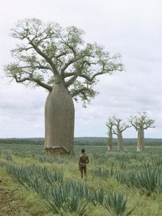 Baobab Tree, Picture Tree, Giant Tree, Unique Trees, Old Trees, Tree Forest, Exotic Plants, Tree Of Life, Trees To Plant