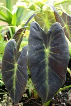 Colocasia esculenta var antiquorum Black Beauty (Black Beauty Elephant Ear) : This superb 2006 Agri-Startssport is a stunning mutation of the popular Colocasia 'Illustris'. If you can imagine intensifying the black leaf colo...