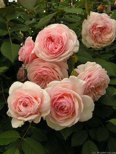 "English Roses Rose "" A Shropshire Lad "" , (AUSled) , bred by David C. Roses David Austin, David Austin Rosen, Romantic Roses, Beautiful Roses, Beautiful Gardens, Simply Beautiful, Love Rose, Pretty Flowers, Pink Flowers"