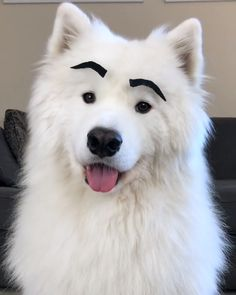 Brows really do change a face! SOUND ON video credit: . Brows really do change a face! SOUND ON video credit: . Samoyed Puppies For Sale, Samoyed Dogs, Funny Dog Photos, Cute Funny Dogs, Cute Pugs, Adorable Puppies, Funny Videos, Really Funny Dog Videos, Dog Humor