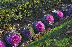 декоративная капуста - Поиск в Google