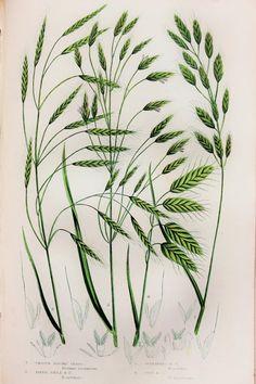 Anne Pratt Antique Botanical Print Grasses Brome by PaperPopinjay