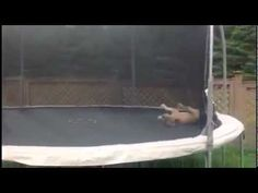 Bulldog Bouncing On Trampoline Funny    This bulldog is having the time of his life! SO CUTE!  I don't think I have ever seen a dog somersault... I didn't think they could even do that!!