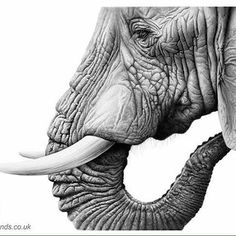 Drawing elephants is a privilege especially when you study them in the wild where they belong Elephant Artwork, Elephant Pictures, Elephant Love, Elephant Gifts, Elephant Drawings, Elephant Tattoos, Elephant Print, Bird Drawings, Realistic Drawings