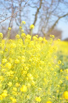 Mustard - I am hurt Yellow Fields, Mellow Yellow, Mustard Yellow, Fruit Seeds, Field Of Dreams, Fresh Figs, Parts Of A Plant, Language Of Flowers, Outdoor Plants