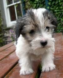 Lucas terrier Unique Dog Breeds, Rare Dog Breeds, Popular Dog Breeds, Wire Fox Terrier, Terrier Mix, Fox Terriers, Cute Puppies, Cute Dogs, Dogs And Puppies