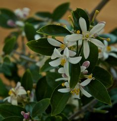 Meyer Lemon Tree - (how to grow) dwarf lemon tree that grows well in pots and bears prolifically