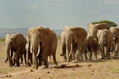 Elephants hurrying to water. Amboseli, Kenya.