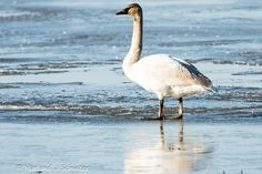 We all know how graceful swans are. But on ice? Not so much: