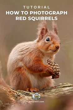 In this wildlife photography tutorial learn how to photograph the adorable and quick-footed red squirrels! Lots of tips to improve your shots. Wildlife Photography Tips, Photography Basics, Photography Tips For Beginners, Photography Courses, Underwater Photography, Outdoor Photography, Photography Tutorials, Landscape Photography, Cool Pictures