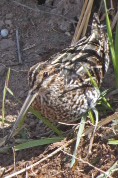 A Wilson's Snipe (Gallinago delicata) on the bank of the irrigation drain that flows past the National Hispanic Cultural Center in Albuquerque. This master of concealment was not only superbly camouflaged, it stood absolutely still for several minutes to avoid being detected. Photo taken on March 25, 2021. Cultural Center, Photo Series, Irrigation, New Mexico, March, Birds, Urban, Nature, Image