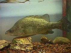 Breeding information for Golden Perch (Yellowbelly), which are an Australian native freshwater fish of the Murray Darling River System and in the South is also known as Callop. At Aquablue Seafoods we grow Golden Perch in freshwater farm dams and ponds. Murray River, Freshwater Fish, Aquaponics, Fishing, Board, Life, Animals, Animales, Animaux