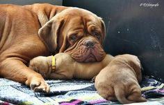 Love.  Dogue De Bordeaux with her puppies