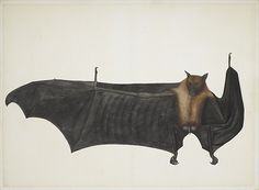 Great Indian Fruit Bat - ca. 1777–82 - Pencil, ink, and opaque watercolor on paper - Painting attributed to Bhawani Das - MET
