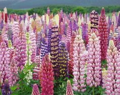 Driving into work on a snowy, cold day like today, I'm already dreaming of spring and what I'll be planting in my garden - including lupines. Love these flowers!