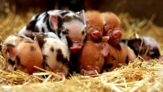 I want a breeding pair of Kune Kune pigs so bad! Cute Creatures, Beautiful Creatures, Animals Beautiful, Cute Baby Animals, Farm Animals, Animal Babies, Funny Animals, Kune Kune Pigs, Reptiles