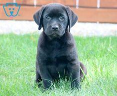 Megan | Labrador Retriever - Black Puppy For Sale | Keystone Puppies Black Puppy, Black Lab Puppies, Labrador Puppies For Sale, Black Labrador Retriever, Design Development, Doggies, Animals, Little Puppies, Black Labrador Puppies
