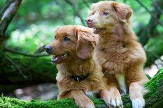 Types Of Dogs Breeds, Akc Breeds, Otterhound, Curly Coated Retriever, Newfoundland Puppies, Nova Scotia Duck Tolling Retriever, Retriever Puppy