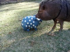 Es gibt noch mehr blaue Schweinchen^^