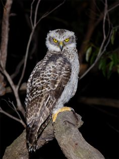 Powerful Owl - Ninox strenua. The largest of Australia's owls, the powerful Owl usually inhabits the moist forests of eastern Australia. Its main item of prey is possums of various species, though large bats such as flying foxes are also often caught. The Powerful Owl is endemic to eastern and south-eastern Australia.Photo by Richard Jackson.