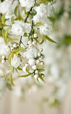 こちらは八重の白モッコウ。 香りは白モッコウのほうがあるんです!花数は黄モッコウよりも少なめですが、それゆえにグリーンの葉の美しさが映えるんですよ♪