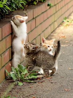Four bricks high and this low garden wall proves to be a great obstacle for three tiny kittens to conquer!