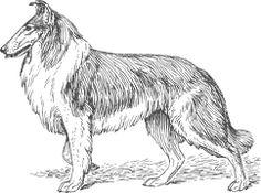 Hond, Huisdier, Collie, Bont, Ras