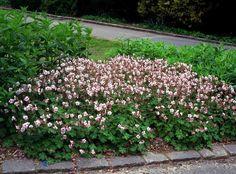 Geranium cantabrigiense 'Biokovo' // peittokurjenpolvi